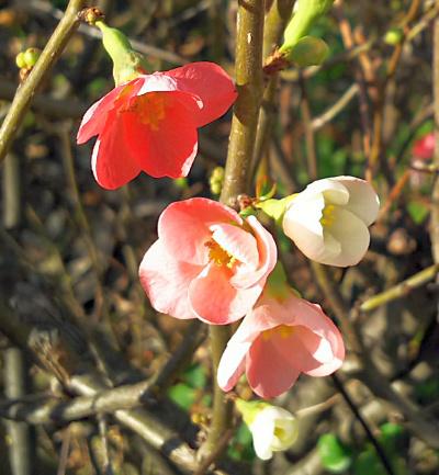 DSC_1159_三角公園のボケの花3色_400.jpg