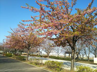 DSC_1801_0317カワヅザクラに葉:小松川千本桜_400.jpg