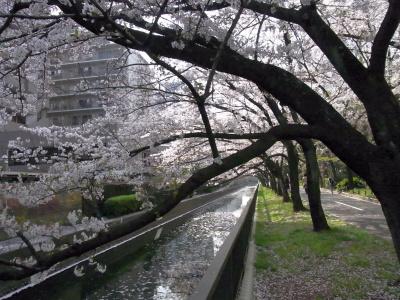 R0034798水路と桜並木_400.jpg