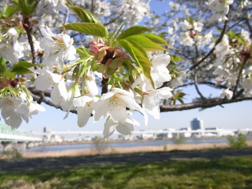 R0034977小松川千本桜、川とサクラの風景COOL_500.jpg
