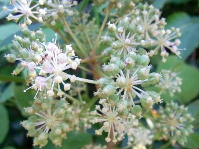R0039110タラノキの花Zoom_400.jpg