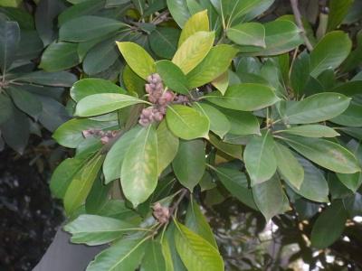 R0040392マテバシイの葉とドングリ_400.jpg