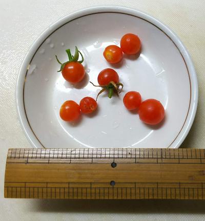DSC_5572_0115ドワーフトマト極小8個収穫_400.jpg