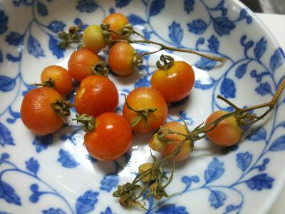 DSC_5850_0218昼-収穫したドワーフトマト、味はいまいち_400.jpg
