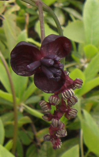 P4010180団地のミツバアケビの雄花と雌花_300.jpg