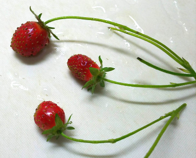 DSC_7091_0530昼-イチゴ3個収穫して食べる_400.jpg