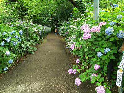 DSC_7425興禅寺のあじさいの道の風景_400.jpg