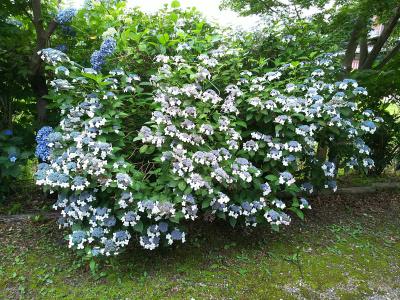 DSC_7417興禅院のアジサイの庭_400.jpg