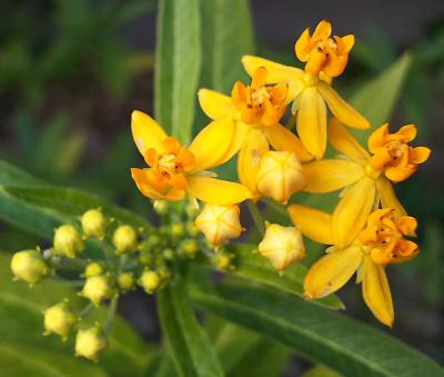 DSC_1004ヤナギトウワタの花と蕾Zoom_400.jpg