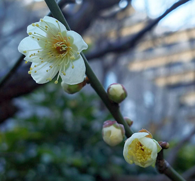 DSC_1367_0210白梅が咲きはじめCUT_400.jpg