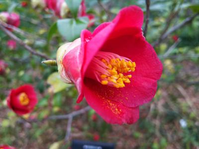 DSC_1867_0307S公園のユキツバキの花_400.jpg