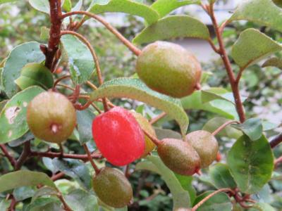 IMG_2028_0526四手辛夷公園のナワシログミの赤い実と葉_400.jpg