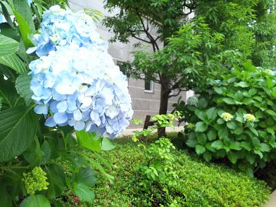 DSC_0527_0611ハナイカダとアジサイ_400.jpg