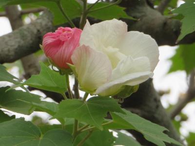 IMG_5308_1022フヨウの花白とピンク_400.jpg