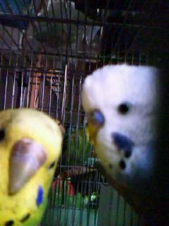 ピヨとレモン