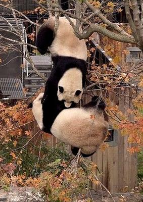 パンダの危機