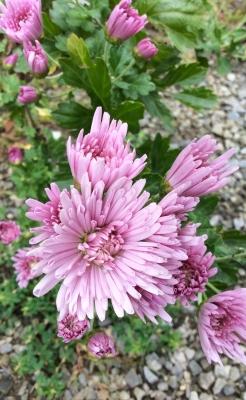 もってのほか 筒状花 管状花 食用菊 ピンク 八重