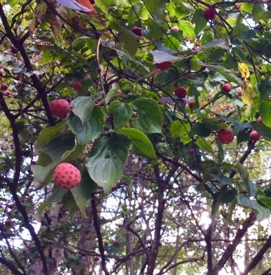 ヤマボウシ 木の実 赤い 生食 食用 秋 十月 神無月