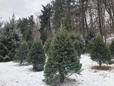 クリスマスツリー ダグラス アメリカ ファーム ニュージャージー 雪 カット