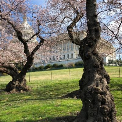 ワシントン 桜 モクレン washington dc cherry blossom pink flower spring magnolia