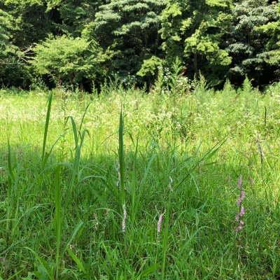 山田緑地 野草 夏 weed summer