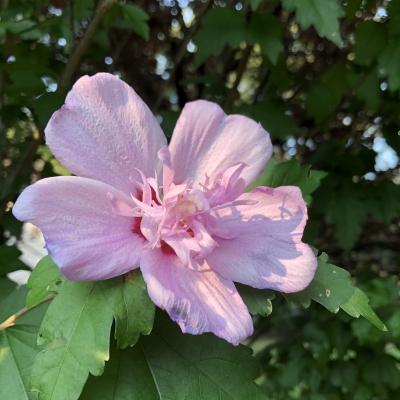 ムクゲ 木槿 ピンク 花 食べられる エディブルフラワー 8月 アメリカ ニュージャージー hibiscus syriacus pink flower edible newjersey usa