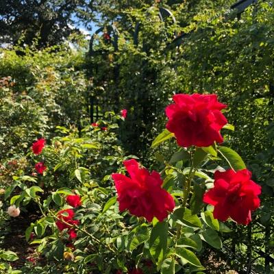 ニューヨーク ボタニカル ガーデン ローズガーデン 夏 バラ 庭 ガーデンデザイン Peggy Rockefeller Rose Garden new york botanical garden design rose red