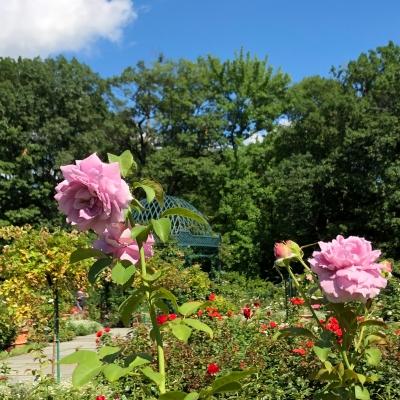ニューヨーク ボタニカル ガーデン ローズガーデン 夏 バラ 庭 ガーデンデザイン Peggy Rockefeller Rose Garden new york botanical garden design rose pink
