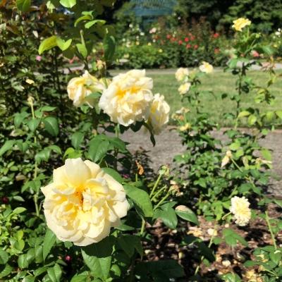 ニューヨーク ボタニカル ガーデン ローズガーデン 夏 バラ 庭 ガーデンデザイン Peggy Rockefeller Rose Garden new york botanical garden design rose yellow