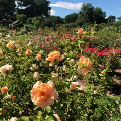 ニューヨーク ボタニカル ガーデン ローズガーデン 夏 バラ 庭 ガーデンデザイン Peggy Rockefeller Rose Garden new york botanical garden design rose orange