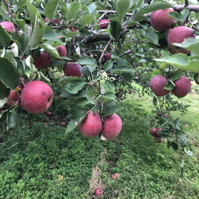 リンゴ狩り 秋 アメリカ apple pick your own orchard fall activity fun