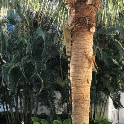 イグアナ アメリカ フロリダ州 キーウエスト 野生動物 iguana USA Florida key west wildlife