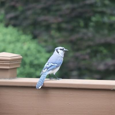 ブルージェイ 青い鳥 幸せを運ぶ 野鳥 自然 庭 アメリカ ニュージャージー州 巣作り 子育て Blue jay wild bird garden USA New Jersey nest baby garden fondly