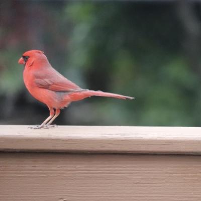 カーディナル 赤い鳥 アメリカ ニュージャージー州 庭 ガーデニング 野鳥 cardinal red bird wild garden fondly USA New Jersey happy time