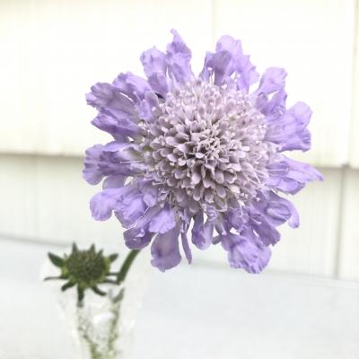 スカビオサ 薄紫色 大好きな花 花瓶 アメリカ ニュージャージー州 pincushion flower butterfly blue scabiosa USA New Jersey garden fondly