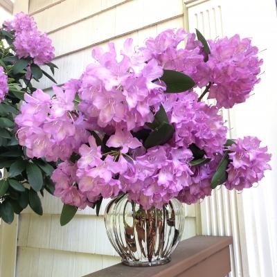 シャクナゲ 石楠花 アメリカ ニュージャージー州 Catawba rosebay garden fondly nj USA