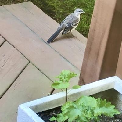 ブルージェイ ヒナ 野鳥 子育て 巣作り アメリカ ニュージャージー州 blue jay baby kids nest USA New Jersey garden fondly