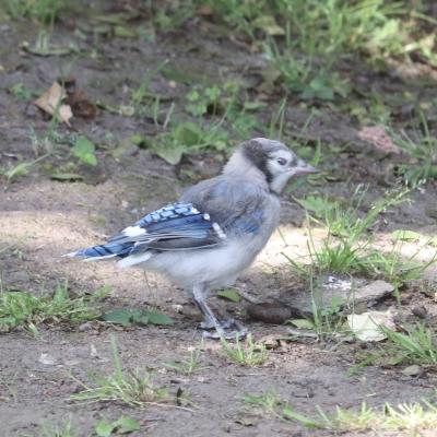ブルージェイ メス ヒナ アメリカ ニュージャージー州 blue jay baby kids female USA New Jersey Garden Fondly