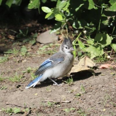 ブルージェイ オス ヒナ アメリカ ニュージャージー州 blue jay baby kids male USA New Jersey Garden Fondly