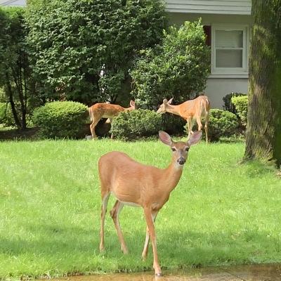 鹿 野生 ニュージャージー州 アメリカ 庭 deer wild life New Jersey USA garden fondly