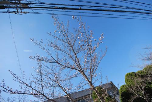 (有)エステート・マエタニ前の桜