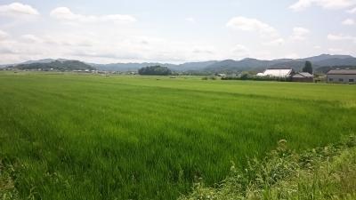 無農薬の圃場
