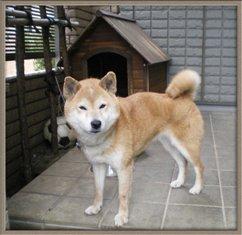 柴犬のサクラは7歳