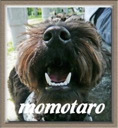ミックス犬の桃太郎はもうすぐ1歳