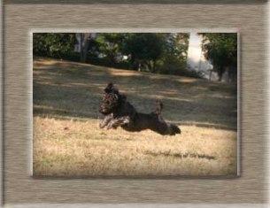 トイプードル ミックス犬