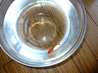金魚が病気