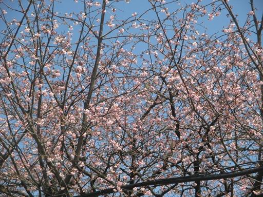 スポセンの桜