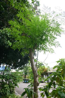 なんとかの木