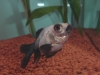 金魚 デメキン パンダ
