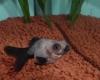 デメキン 金魚 パンダ